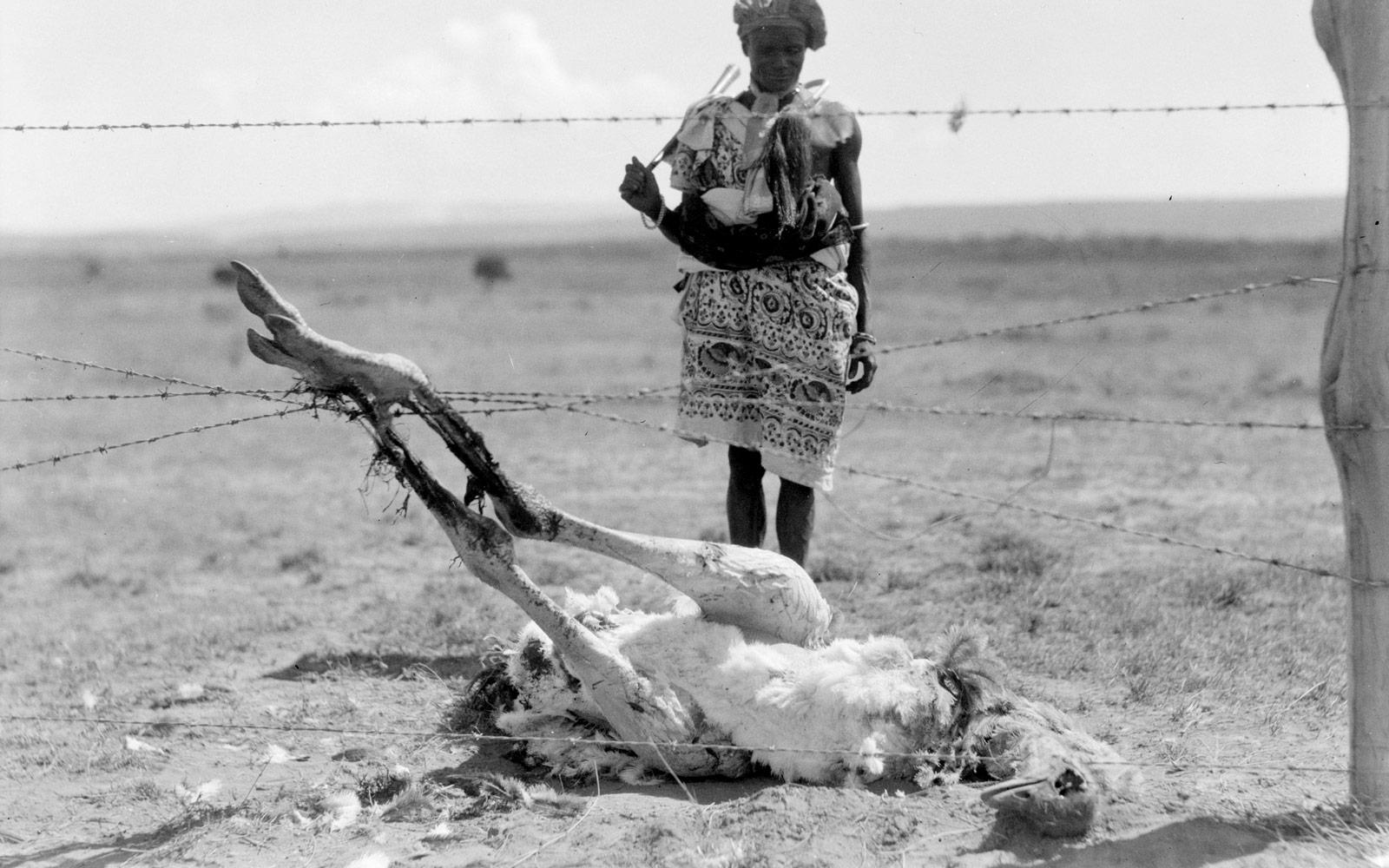 Un estruç mort amb els peus enredats en filferro de pues. Rift Valley, 1936