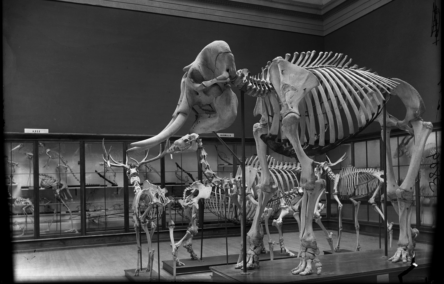 Paleo skeletons, mastodon or elephant skeleton, Irish Elk. The Field Columbian Museum, 1898